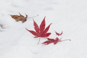 image of momiji on the snow